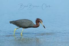 Little Blu (Beve Brown-Clark) Tags: waterfowl wildlife winter littleblueheron heron shorebird bird ©bevebrownclark florida usa
