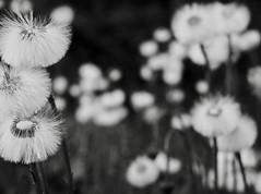 CouNTDown. (WaRMoezenierr.) Tags: black white flower flor bloem zwart wit countdown negro blanco field nederland pays bas netherlands paardebloem weide natuur nature