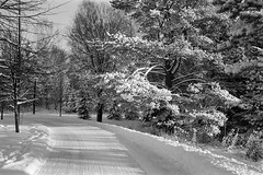 Branches of Light (Petri Karvonen) Tags: winter morning branches tree trees bright walk path outdoor talvi frosted commute monochrome blackandwhite analog film kodak trix 400tx coated snow finland kuopio suomi olympus mjuii μmjuii shadows curve