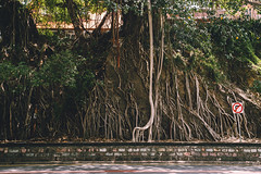 Fig Roots (Leighton Wallis) Tags: sony alpha a7r mirrorless ilce7r 55mm f18 emount 1635mm f40 brisbane qld queensland australia city fig tree roots street