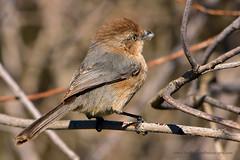 American_Bushtit_03 (DonBantumPhotography.com) Tags: wildlife nature animals birds donbantumcom donbantumphotographycom smallbrownbird goldringaroundtheinsideofhiseye americanbushtit