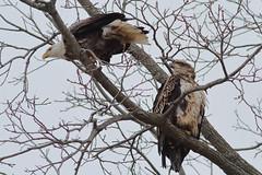 Bald Eagles (Derek Mickeloff) Tags: canon 7d birding bald eagle caledonia 2019 raptor birdofprey