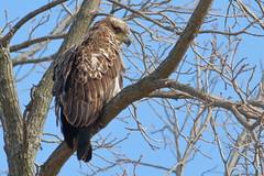 Immature Bald Eagle (Derek Mickeloff) Tags: canon 7d birding bald eagle caledonia 2019 raptor birdofprey
