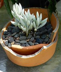 Senecio (M.P.N.texan) Tags: succulent plant white senecio pottedplant