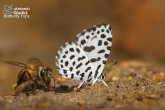 Beauty and the Beast (Antonio Giudici Butterfly Trips) Tags: doiphahompok fang chiangmai thailand beautyandthebeast lycaenidae miletinae tarakahamadamendesia theforestpierrot ผีเสื้อปีกใสจุดดำ