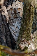 Tawny Owl (fascinationwildlife) Tags: animal bird birding tawny owl sleepy tree branch park wild wildlife nature natur schloss nymphenburg urban munich münchen deutschland bayern bavaria predator kauz waldkauz morning eule