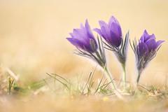 Küchenschellen (generalstussner) Tags: pflanze küchenschelle plant natur nature lichtstimmung blume pulsatillavulgaris kuhschelle