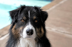 Poolside Dash (jayvan) Tags: dash aussie australianshepherd dog pool portrait intense phoenix arizona