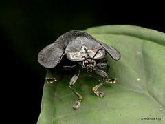 Tortoise beetle, Cassidinae (Ecuador Megadiverso) Tags: andreaskay beetle cassidinae chrysomelidae coleoptera ecuador tortoisebeetle