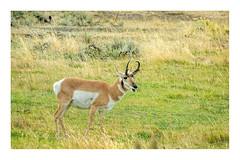 Pronghorn Antelope (Bob C Images) Tags: yellowstonenationalpark animals antelope pronghorn wild park