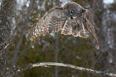Great Grey Owl hovering (dwb838) Tags: hovering greatgrayowl flight forest