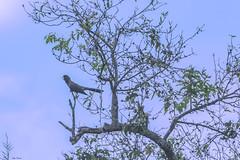 PIAPIAC (Ezio Donati is ) Tags: uccelli birds animali animal natura nature foresta forest alberi trees cielo sky westafrica costadavoeio reservedelamto