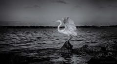 Twilight Flight (JDS Fine Art Photography) Tags: bird ocean water sea landscape monochrome bw beauty naturesbeauty inspirational wings flight