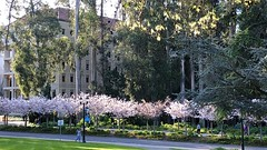 Cherry Blossom Time on Campus (Melinda * Young) Tags: cherryblossoms campus uc westgate april spring flowering trees landscape memorial japanese wwii
