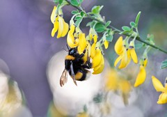 Bombus terrestris (The buff-tailed bumblebee) (Giorgia_Amendola) Tags: bombus terrestris bumblebee bees apoidea pollination impollinazione pollinators hymenoptera imenotteri insects entomology entomologia macro macrophotography d5500 tamron