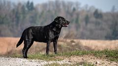 Distance (uwe.kast) Tags: labrador labradorretriever labradorredriver hund haustier dog bichou black panasonic lumix 100300
