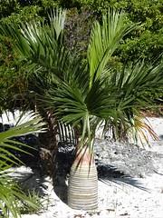 Half Moon Cay, Bahamas, Day 4 -- Caribbean Cruise Vacation, Nature Walk, Palm Tree (Mary Warren 12.9+ Million Views) Tags: bahamas halfmooncay caribbean cruise hollandamerica veendam nature flora plants leaves green tree palmtree