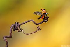 Adieu, 2018! (Vie Lipowski) Tags: ladybug ladybird ladybeetle tendril insect bug beetle garden happynewyear wildlife nature macro