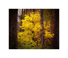 Yellow... (geraldkoenigsohn) Tags: fujixt1 colours leaves tree eifel germany autumn fall forest woods foliage landscape