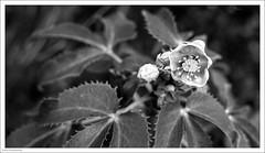 Watching 358/365 (John Penberthy ARPS) Tags: 3652018 365the2018edition nikon day358365 blackandwhite hellebore monochrome mono flowers 24dec18 flowersandplants d750 johnpenberthy