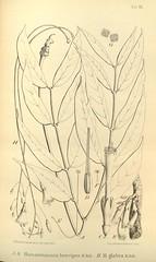 n644_w1150 (BioDivLibrary) Tags: botany melanesia papuanewguinea missouribotanicalgardenpeterhravenlibrary bhl:page=500573 dc:identifier=httpsbiodiversitylibraryorgpage500573 artist:name=gertrudbartusch