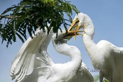 ATU_9705_Garça Branca Grande_LR (Ana Taemi) Tags: garçabrancagrande ardeaalba casmerodiusalbus greategret ave bird itatiba sp brazil