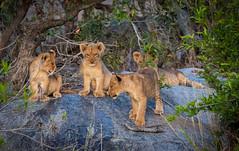 The future king (stefankathman) Tags: lioncubs