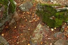 Buckeyes accumulate in dry spots in the bed of Salt Creek (openspacer) Tags: aesculus buckeye creek nut pachecostatepark santaclaracounty sapindaceae