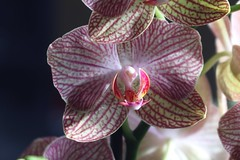 蘭 / Orchid      Voigtländer Anastigmat  Skopar    1:4.5   F  = 8.3cm (情事針寸II) Tags: tessar oldlens bokeh macro nature fleur flower orchid voigtländeranastigmatskopar145f83cm