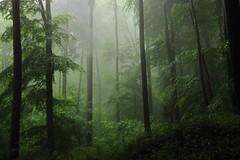 AtAnotherAge (Lothbrok'sYen) Tags: woods forest age another wald germany may spring fog nebel lothbroksyen