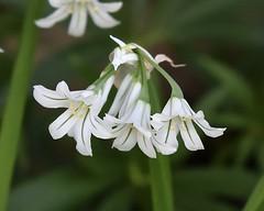 Green stripe (MJ Harbey) Tags: flowers canonsashby northamptonshire nationaltrust greenandwhiteflowers nikon d3300 nikond3300