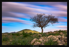 Tree in the Wind (Ilan Shacham) Tags: landscape view scenic tree green hill nature beauty fineart fineartphotography golan golanheights ramathagolan israel clouds streaking
