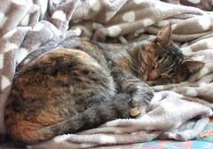 Chuuuuuuuuuuuuuuut je dors Zzzzzzzzzzzzzzzzzzzzzzz - Explore à la place 103 du 05 janvier. Merci (Kermitfrog ;-)) Tags: chat maya cat katze jura bourgognefranchecomté dole 39 dodo chut dormir sieste couverture