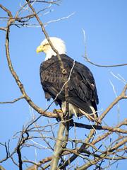 Bald Eagle (adult) (glenbodie) Tags: bodie catherinehurley glen glenbodie north40 reifel
