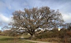Le repos du marcheur sour le chêne centenaire (chriskatsie) Tags: oak oaktree arbre marche rando vieillesse age provence rest large grand big