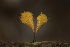 Jumeaux jaunes, Hemitrichia sp. (Bagnères) (G. Pottier) Tags: myxomycète myxomycete hemitrichia myxogastromycetidae trichiales trichiaceae mycetozoa myxomycetes br2a aisnikkor28mmf28 reverselens focusstacking stack nikonpn11 nikonpk12 decayedwood boispourri saproxylique macro extrememacro macrophotography bois forêt sousbois nikonbr2a jaune yellow amarillo spore