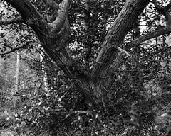 Oak Tree in Hollybush. Walker Titan SF with Rodenstock 150mm Lens, 4 sec @ f32, Delta 100 in HC110G (Jonathan Carr) Tags: oak hollybush tree hc110 ilforddelta100 ruralnortheast woodland landscape 4x5 monochrome blackandwhite largeformat walkertitansf