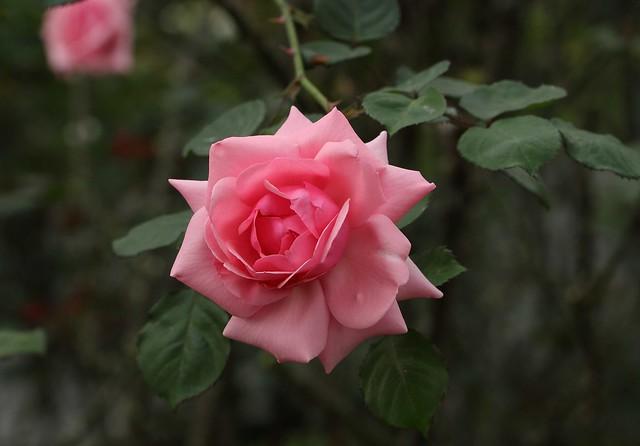 Обои роза, ветка, лепестки, бутон картинки на рабочий стол, раздел цветы - скачать