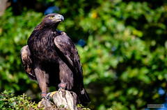 Espace Rambouillet - Septembre 2017 - 19 (Quentin CUVELIER) Tags: ifttt 500px îledefrance base bird continents et pays d7000 europe fr fra forêt france français french nikon photo photographie photography quentin cuvelier forest oiseau rapace wood prey avian raptor flight eagle migration ornithology animals continentsetpays quentincuvelier