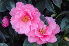 camellias 10/100x 2019 (sure2talk) Tags: camellias pink blooms nikond7000 nikkor85mmf35gafsedvrmicro macro closeup 100xthe2019edition 100x2019 image10100 10100x2019