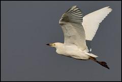Airone guardabuoi (bubulcus ibis) (Paolo Bertini) Tags: airone guardabuoi bubulcus ibis cattle egret nogara verona birdwatching paddyfield ricefield birding bird flight