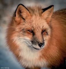 Red Fox Portrait (Melissa M McCarthy) Tags: redfox animal nature outdoor wildlife wild red fox portrait closeup morning sun signalhill stjohns newfoundland canada canon7dmarkii canon100400isii