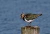Lapwing (Corine Bliek) Tags: vanellusvanellus bird birds vogel vogels nature natuur wildlife spring waders lente meer lake water