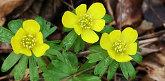 Winterling (Eranthis hyemalis) (Hugo von Schreck) Tags: winterling eranthishyemalis hugovonschreck macro makro flower blume blüte canoneos5dsr tamron28300mmf3563divcpzda010