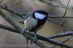 Great Tit (Cheryl's Wildlife) Tags: wildlife nature suffolk rspb birds 2019 birdwatching nikon sigma photography east eastanglia naturereserve wildlifetrust riverlark weststow