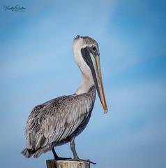 Brown pelican. (Explored 28/12/18) (vickyouten) Tags: brownpelican nature wildlife americanwildlife nikon nikond7200 nikonphotography nikkor55300mm floridakeys florida america usa vickyouten