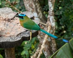 IMG_5484  Lesson's Motmot, in Panama (ashahmtl) Tags: lessonsmotmot bird motmot songbird momotuslessonii birdingparadise paraiso chiriquiprovince panama
