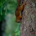 Red Squirrels at Rannoch 2017 - 3053.jpg