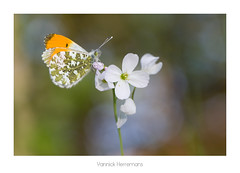 Aurore / Orange-tip (Yannick Herremans) Tags: aurore orangetip anthocharis cardamines butterfly papillon insects animals flower canon france