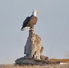 March 1, 2019 - A bald eagle picks a nice perch at Barr Lake. (Bill Hutchinson)